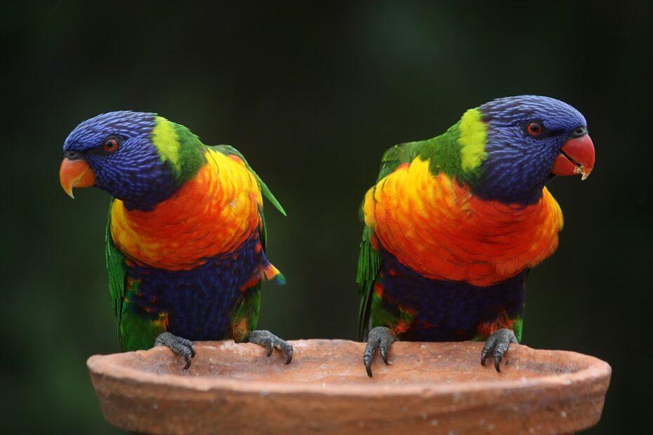 Tow yellow,green and blue Rainbow lorikeet