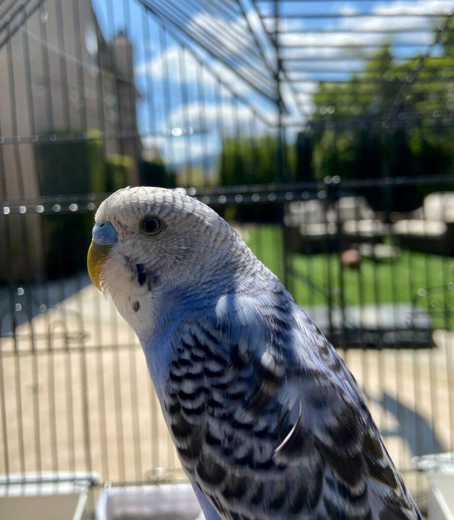 Pájaro blanco y azul en jaula