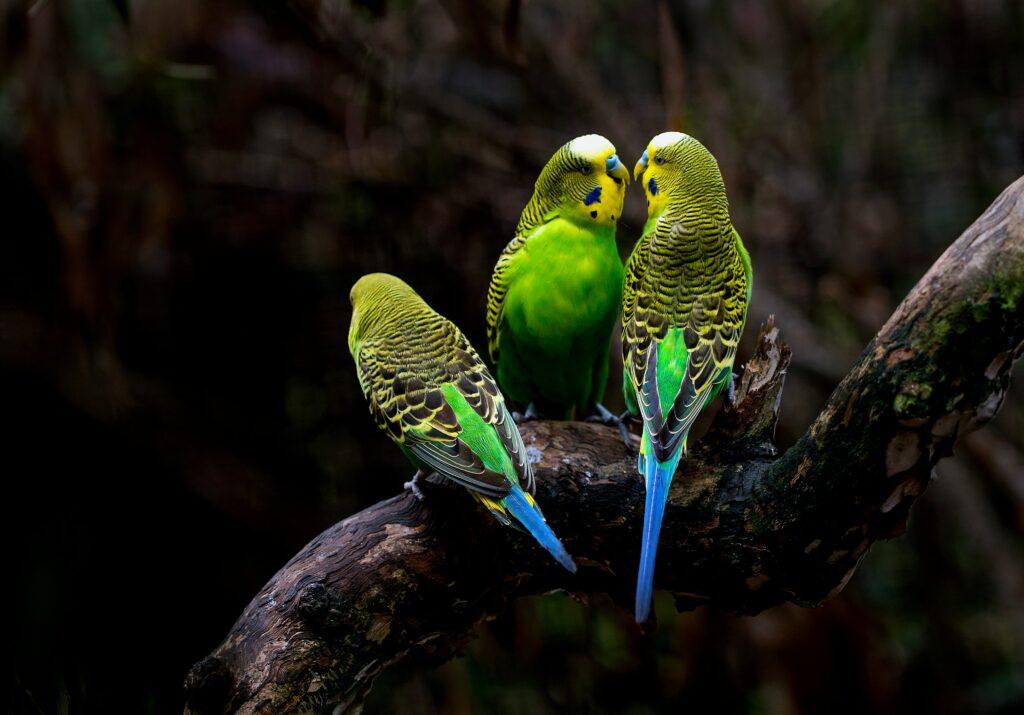 Tres periquitos verdes donde se posan en la rama de un árbol