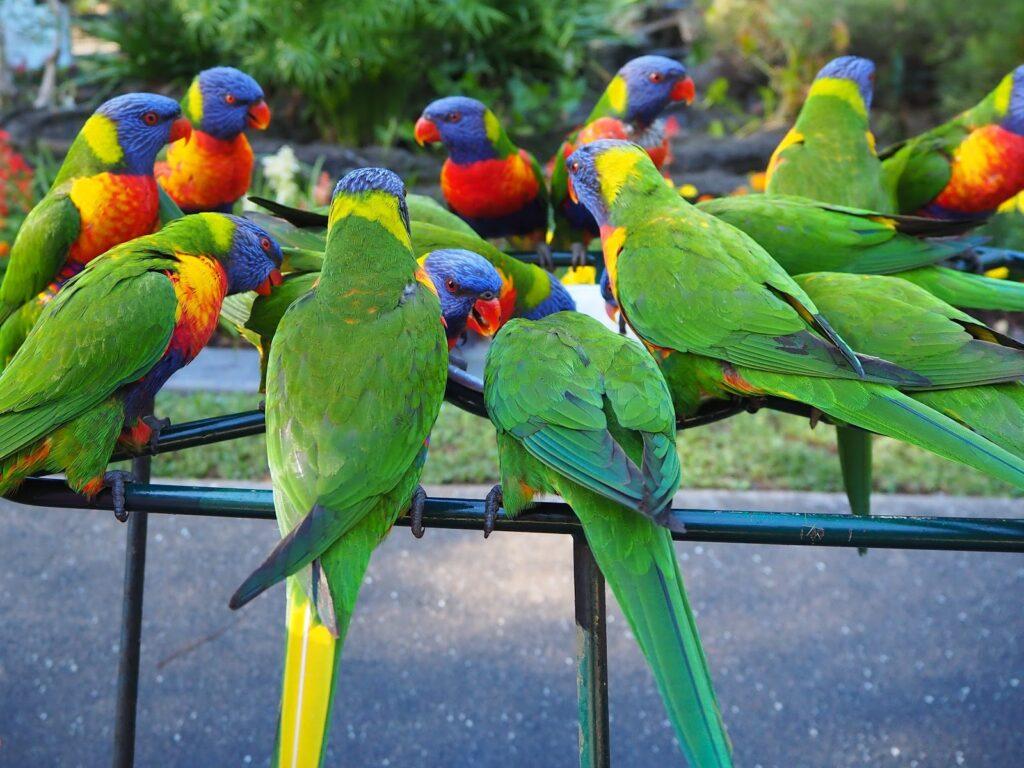 The rainbow lorikeet flock.
