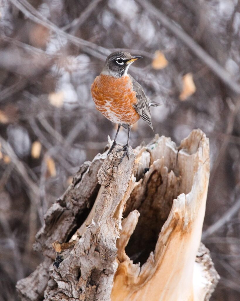 The American Robin setting on tree branch