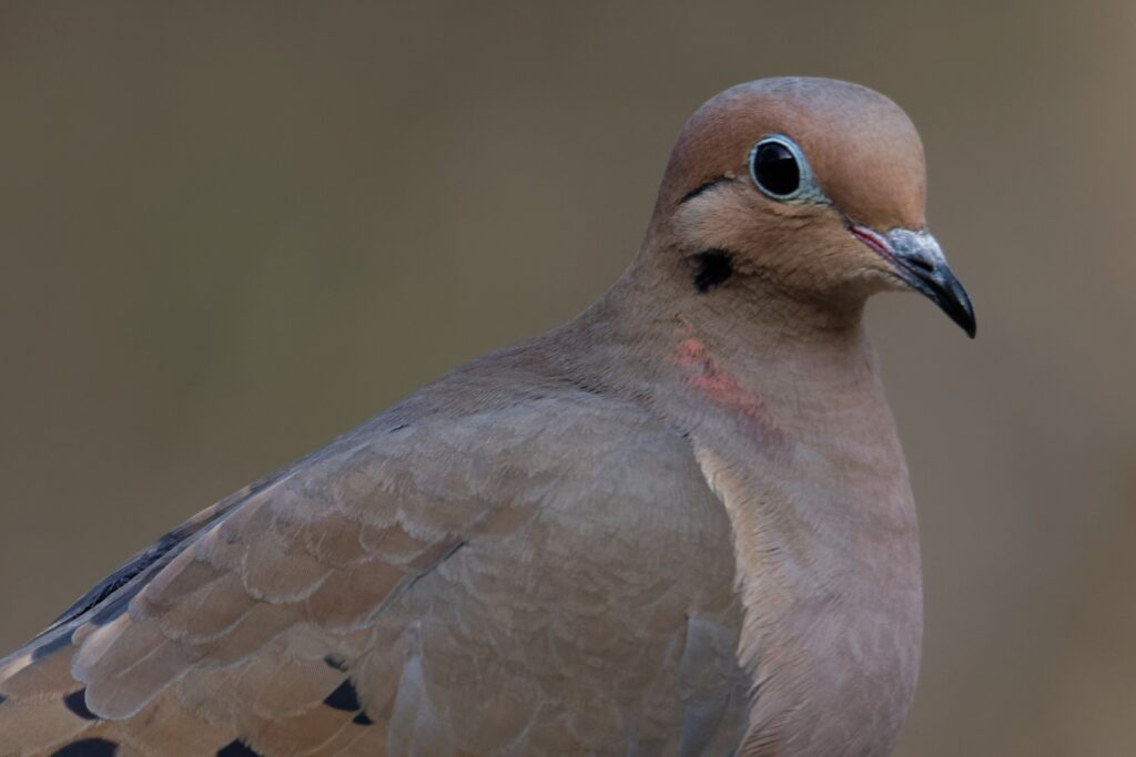 Mourning Dove close shot picture