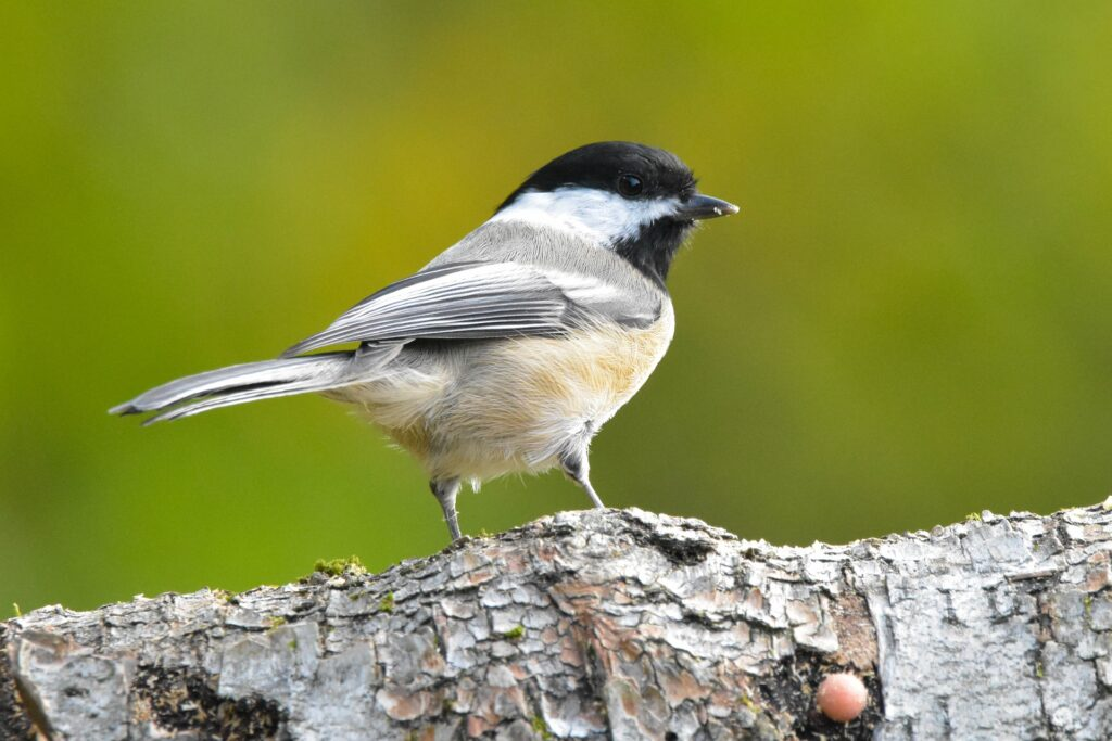 Black-Capped Chickadee setting on branch