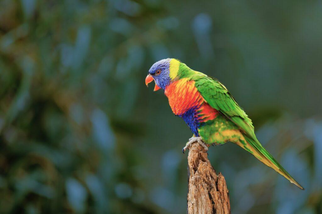 The rainbow lorikeet singing