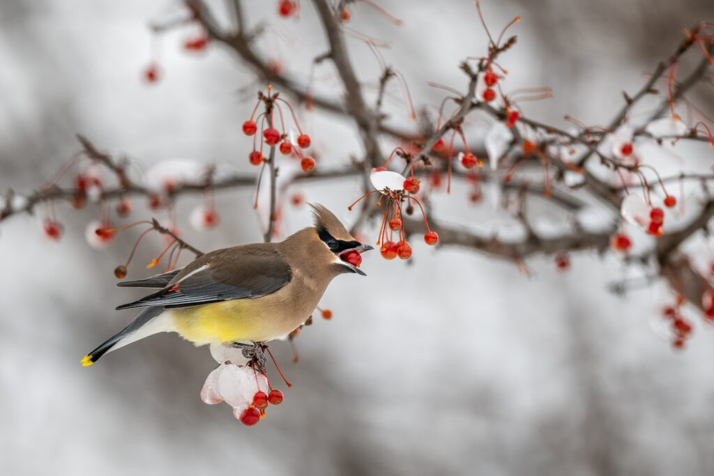 Side view of cute small cedar waxwing bird sitting on leafless tree branch covered with hoarfrost and eating red berry