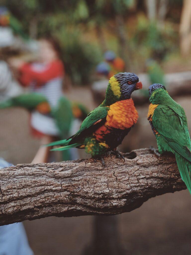 The rainbow bird breeding pair.