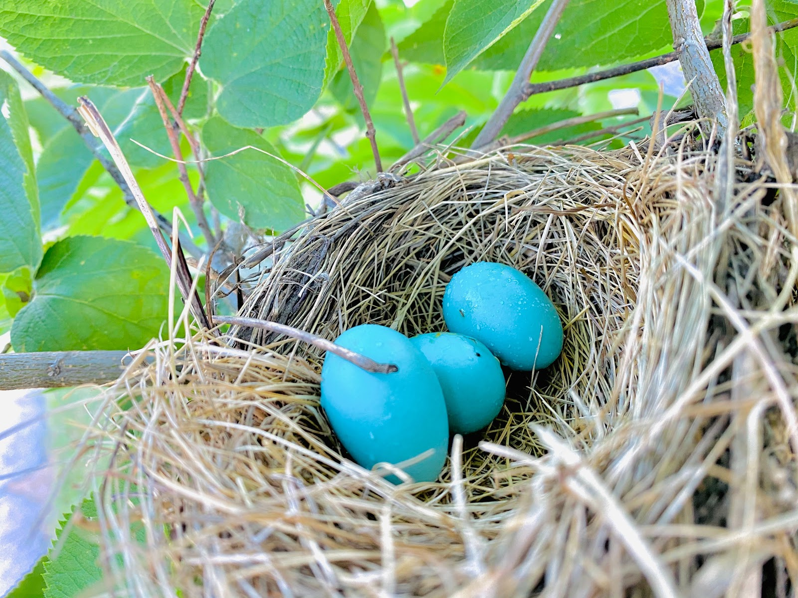 Blue American Robin Eggs.