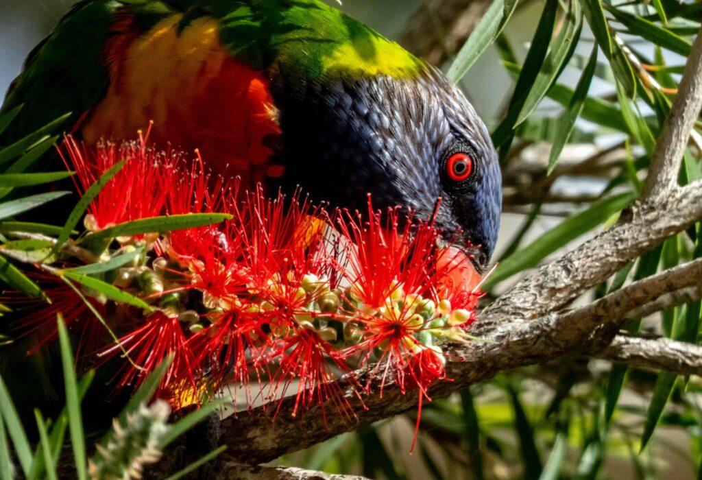 The rainbow bird eating nectar from flowers