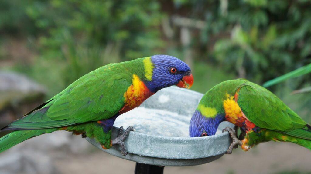 The rainbow lorikeet feeding