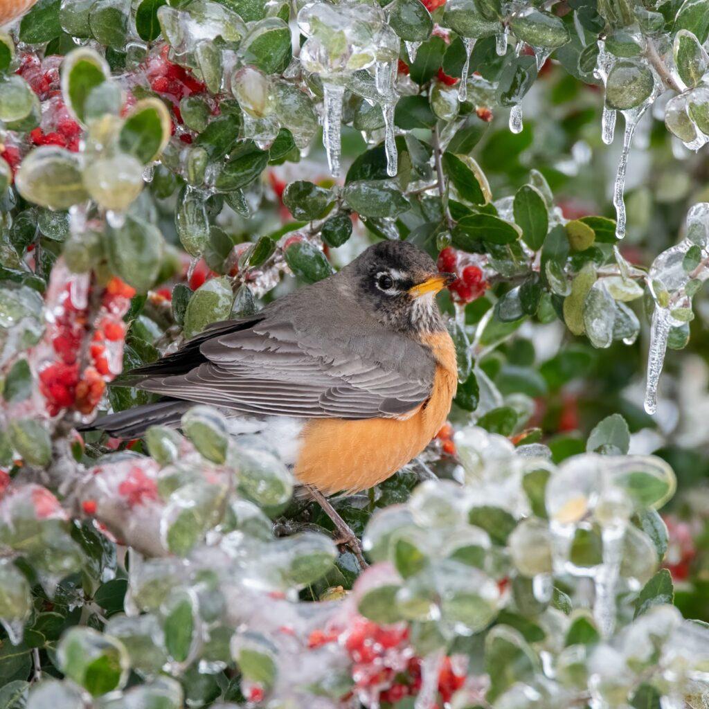 Close shot photo of The American Robin