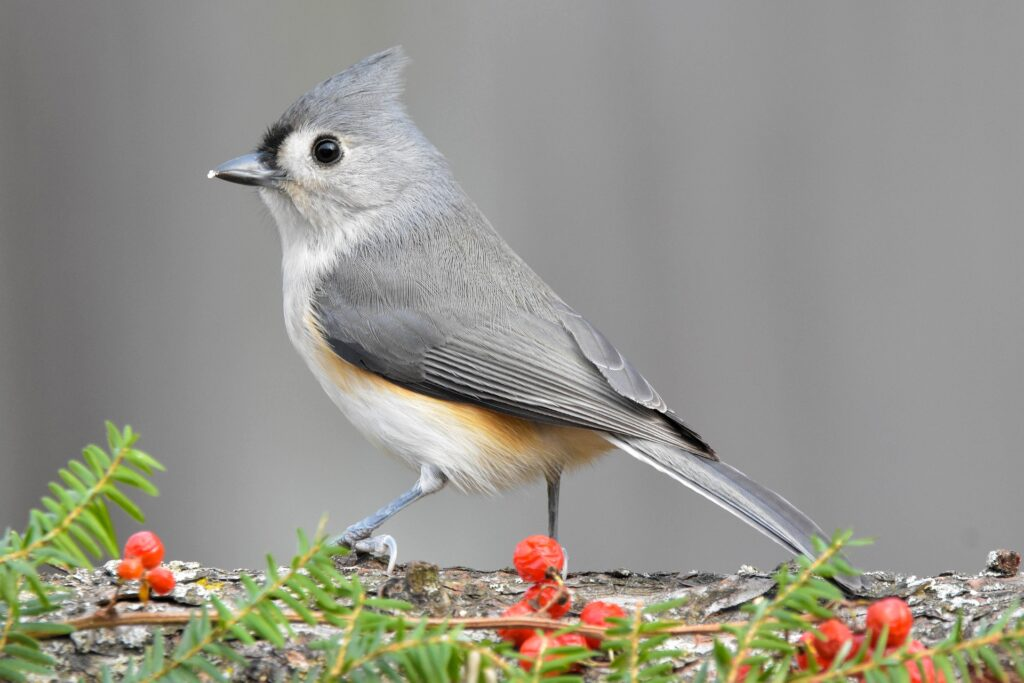 Tufted Titmouse setting on branch
