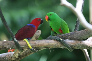 The Male and Female Eclectus Parrot