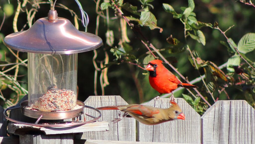 Alimentación de aves de traspatio
