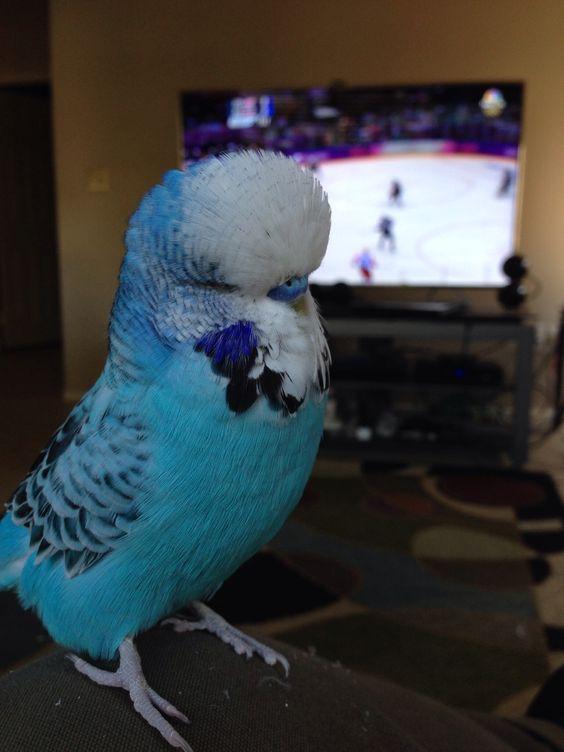 Pogi, mi periquito inglés viendo hockey conmigo.