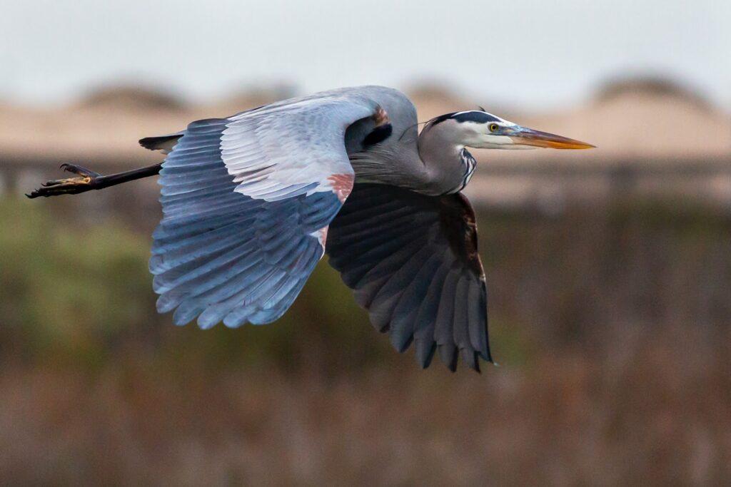 La gran garza azul volando