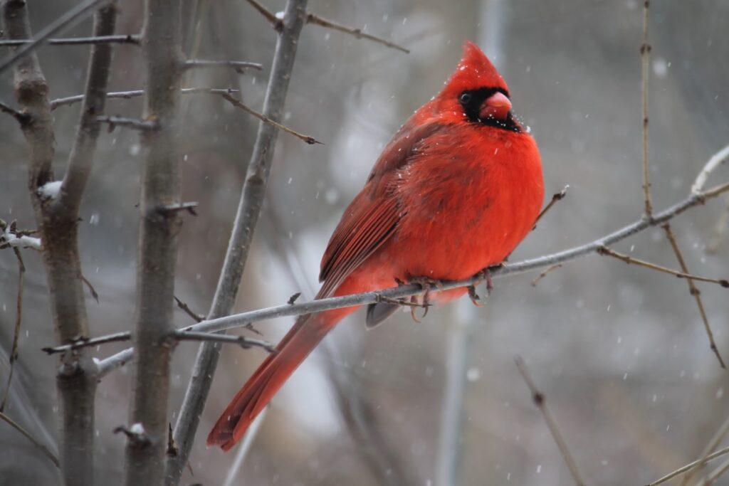 El cardenal norteño en rama