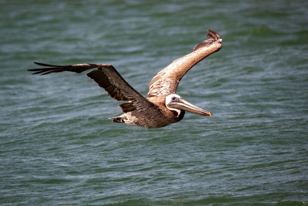 El pelícano marrón volando