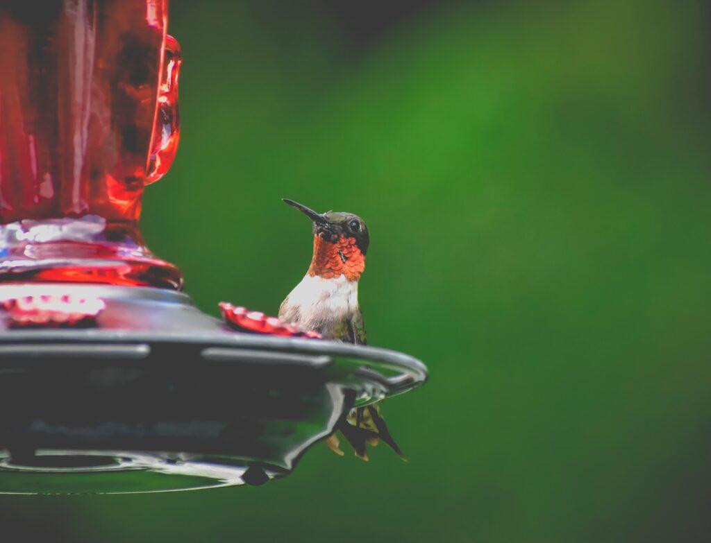 La alimentación del colibrí garganta de rubí