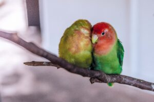 Male and Female Lovebird