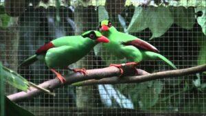 Green Magpies