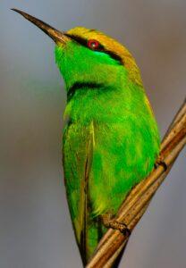 green bee eater bird