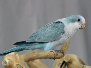 Un charlatán azul enfermo con plumas apagadas.