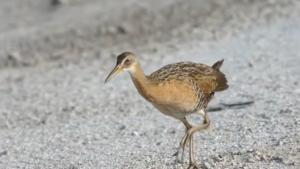 The King Rail Bird