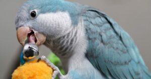 El periquito monje azul masticando.