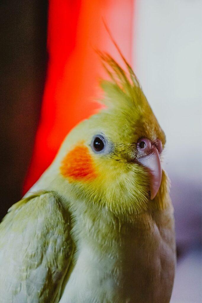 El pájaro cockateil