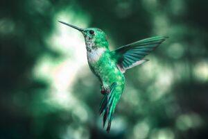 A flying Hummingbird