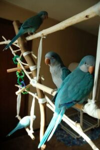 Los loros Blue-Quaker
