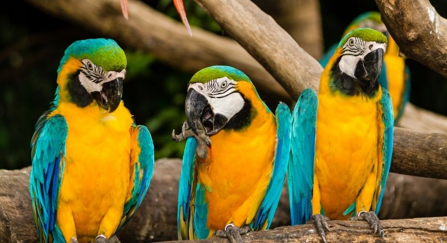 3 pájaros guacamayos en rama