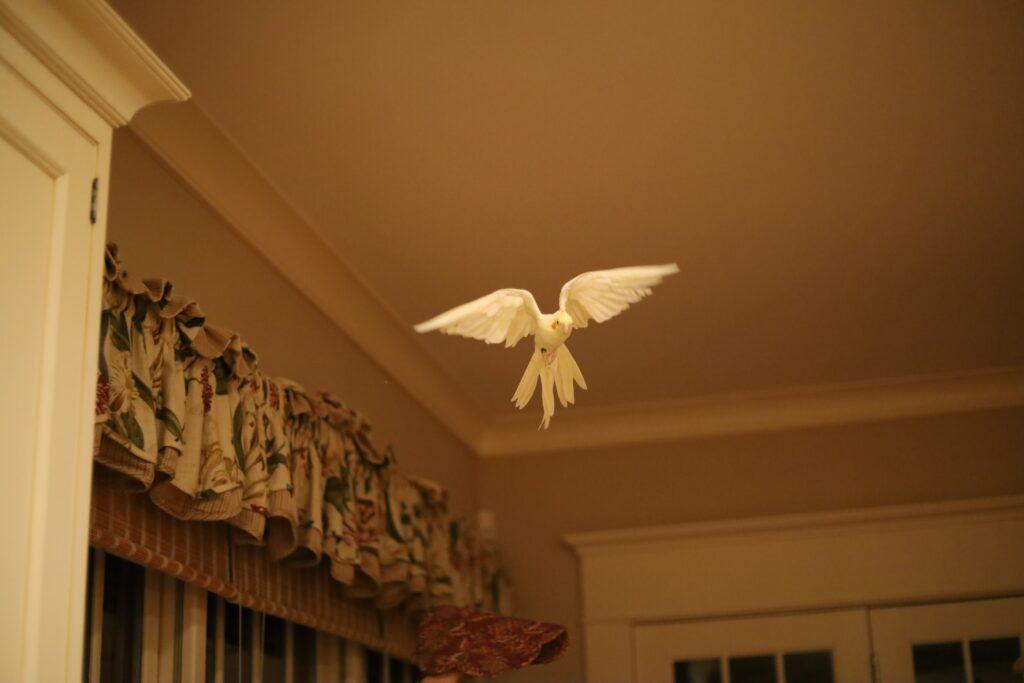 Mon oiseau qui vole dans ma cuisine