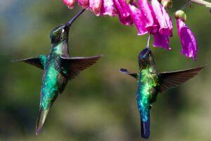 Hummingbirds feeding on nectar