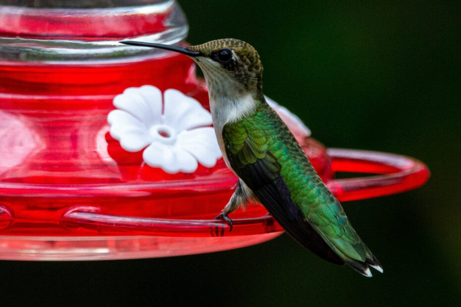 Pet Hummingbird