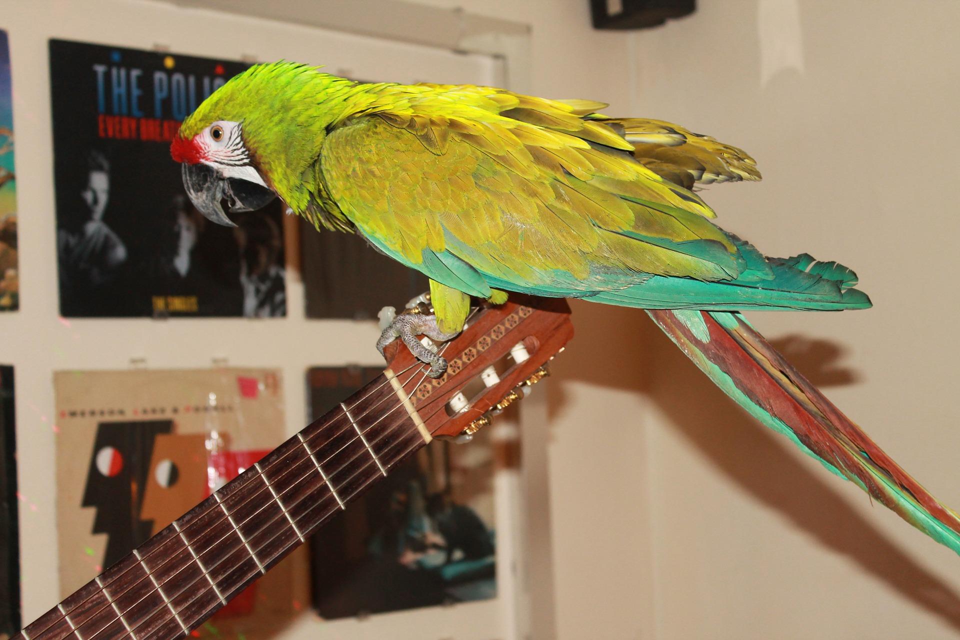 ara assis sur la guitare de son propriétaire d'oiseau