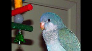 El loro cuáquero azul