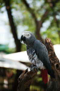 El pájaro loro gris africano