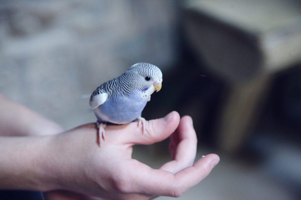 Petite perruche perruche bleue perchée sur la main