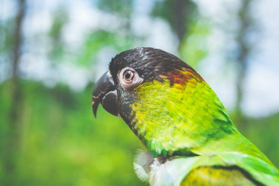 Photographie de mise au point sélective de perroquet vert oiseau Nanday Conure