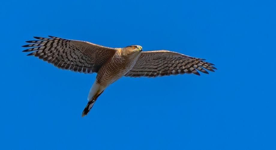 Le faucon à queue rouge vole