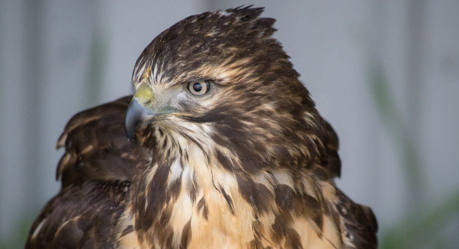 Les faucons à queue rouge close up image