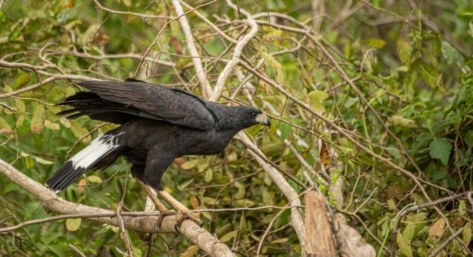 Grand faucon noir