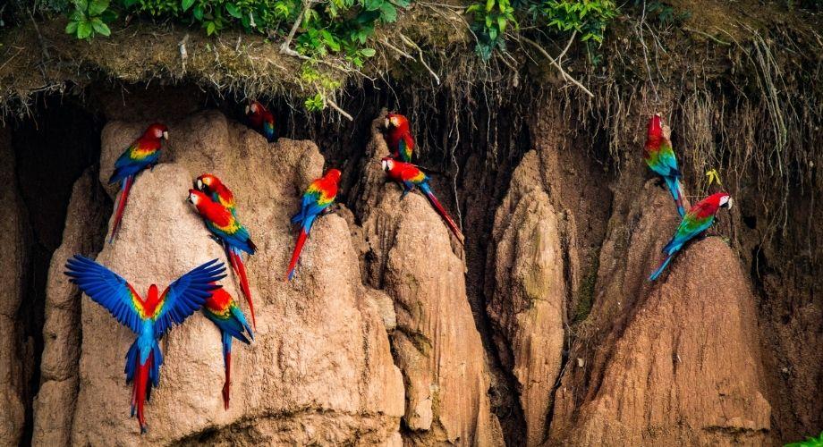 Bandada de pájaros guacamayos