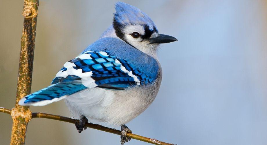 Blue Jay en rama