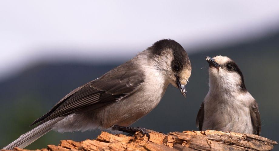 2 oiseaux voleurs de camp s'accouplant