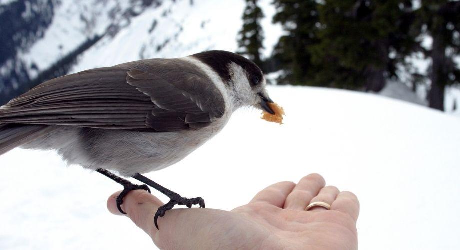 Campamento ladrón pájaro comiendo comida