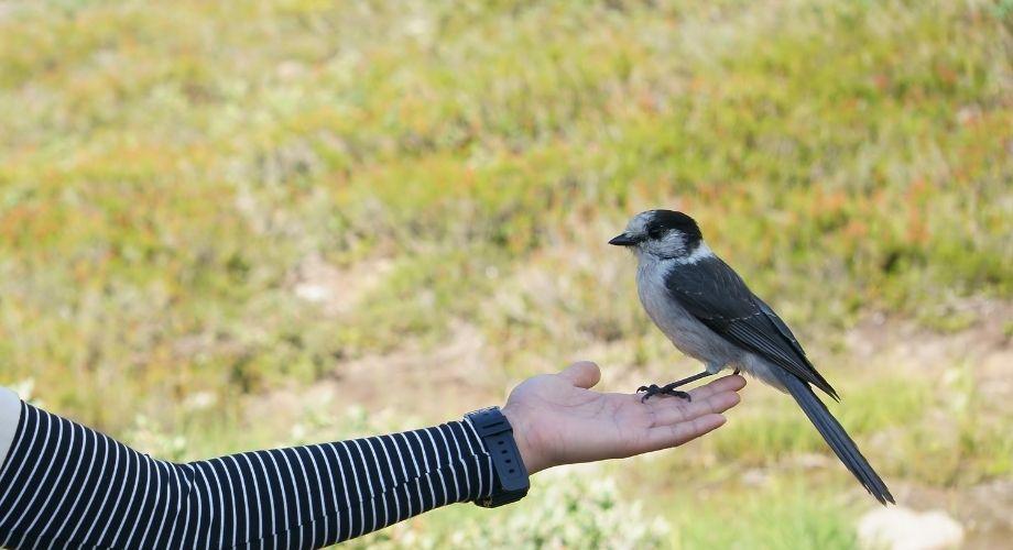 Geais gris debout sur la main de l'homme