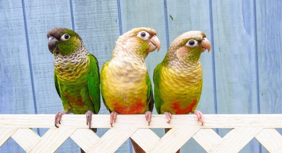 Ananas Joue Verte Conure Oiseau