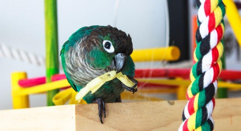Pineapple Green Cheek Conure Bird eating his food